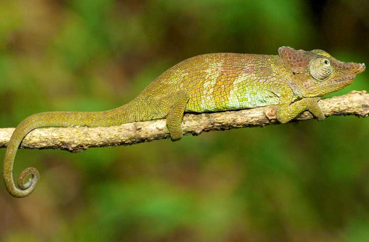 Image - Newly-discovered chameleon and frog species connects East African regions