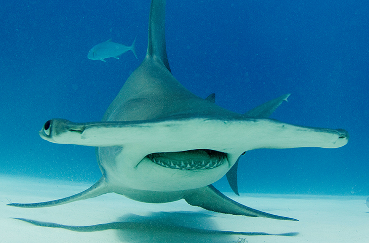 Image - New study shows Hammerhead Sharks swim sideways saving energy
