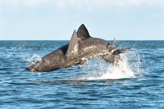 Image - Basking sharks jump as high and as fast as a great white