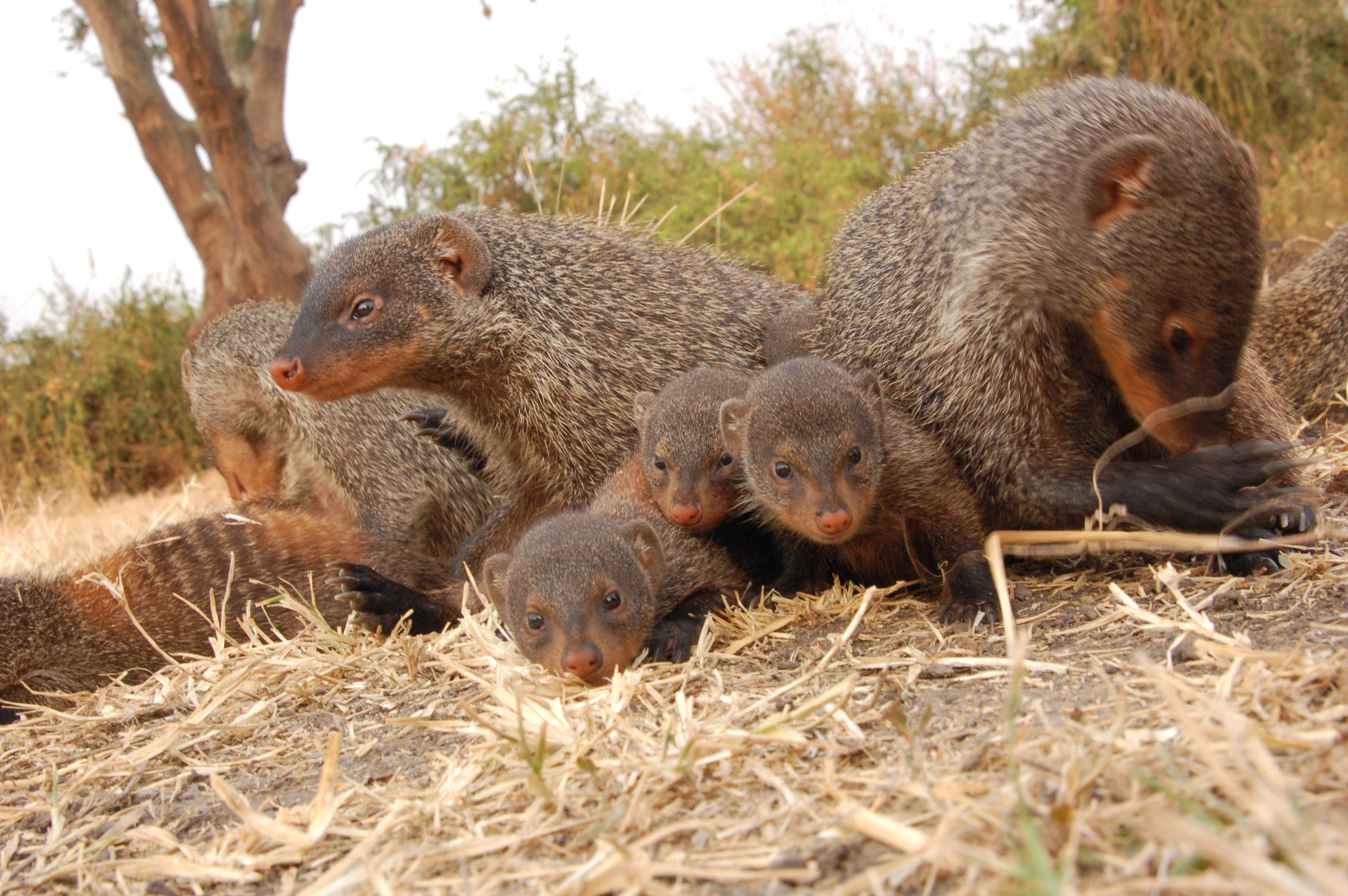 Image - Mongooses who are cared for at an early age have lifelong fitness benefits