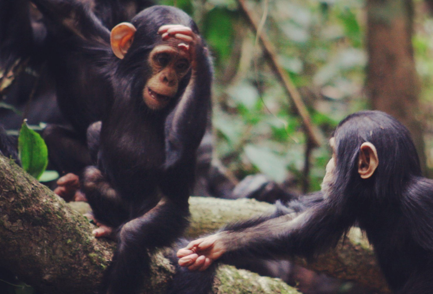 Image - Chimpanzee gestures follow the same laws as human language
