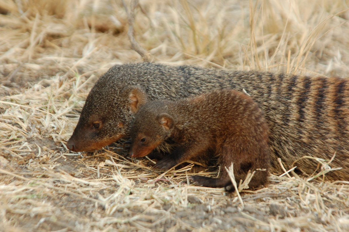 Image - New research finds mongooses inherit behaviour from role models